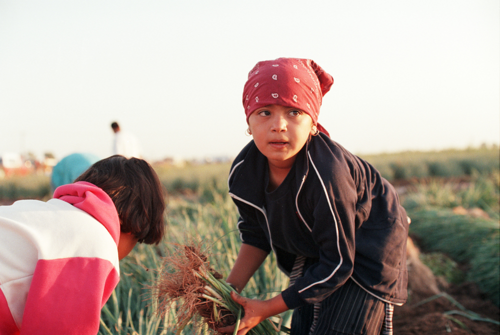 8565FN34 Mexicali, Mexico Migrant children harvest onions in Mexico.